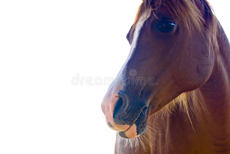 изолированная лошадь стороны стоковое фото rf