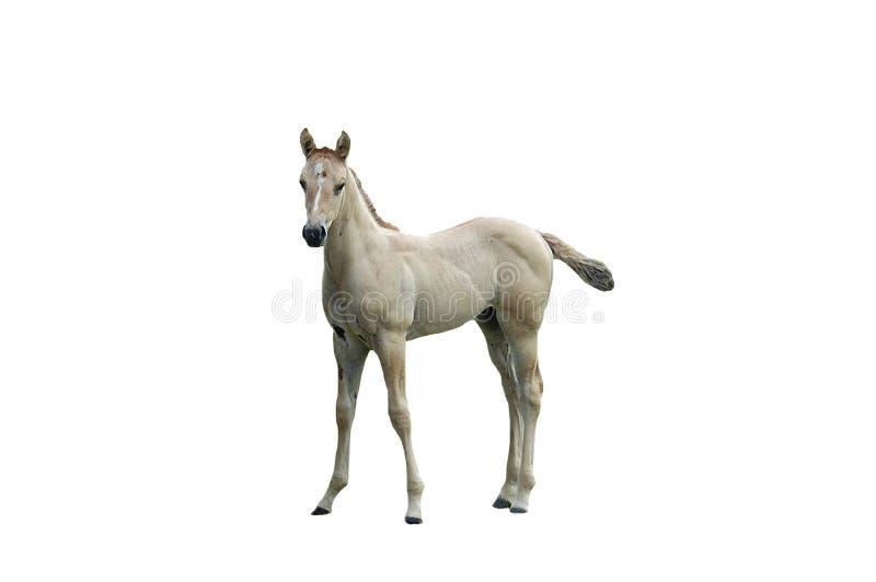 изолированная лошадь стоковое изображение