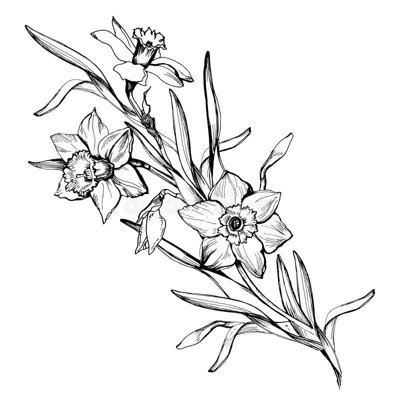 Изолированная нарисованная ветвь руки цветет daffodils, narcissus иллюстрация вектора
