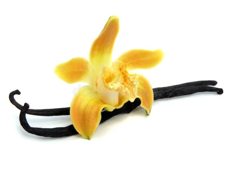 изолированная орхидея вставляет белизну ванили стоковое фото