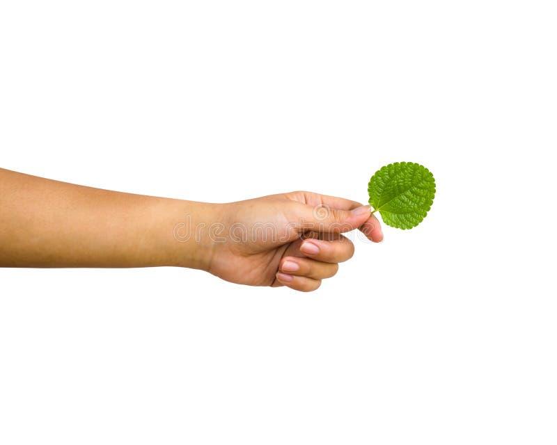 Изолированная рука: Подрезанная женская рука держа зеленый пипермент l стоковое изображение