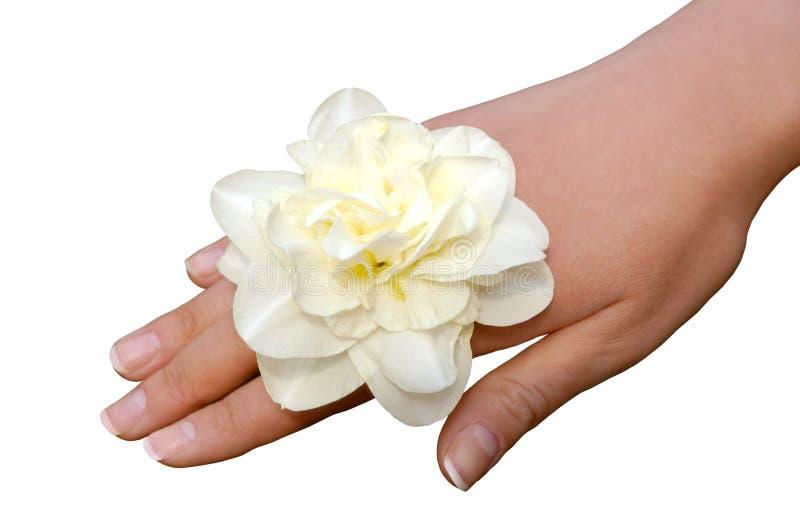 изолированная рукой женщина narcissus белая стоковое изображение rf