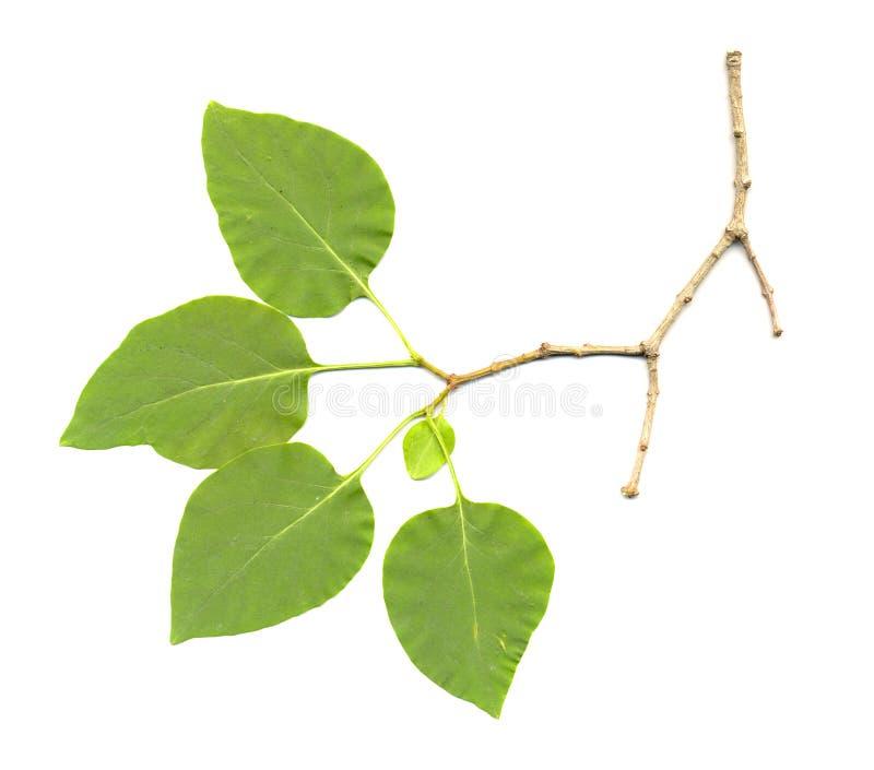 изолированная сирень листьев стоковое изображение rf