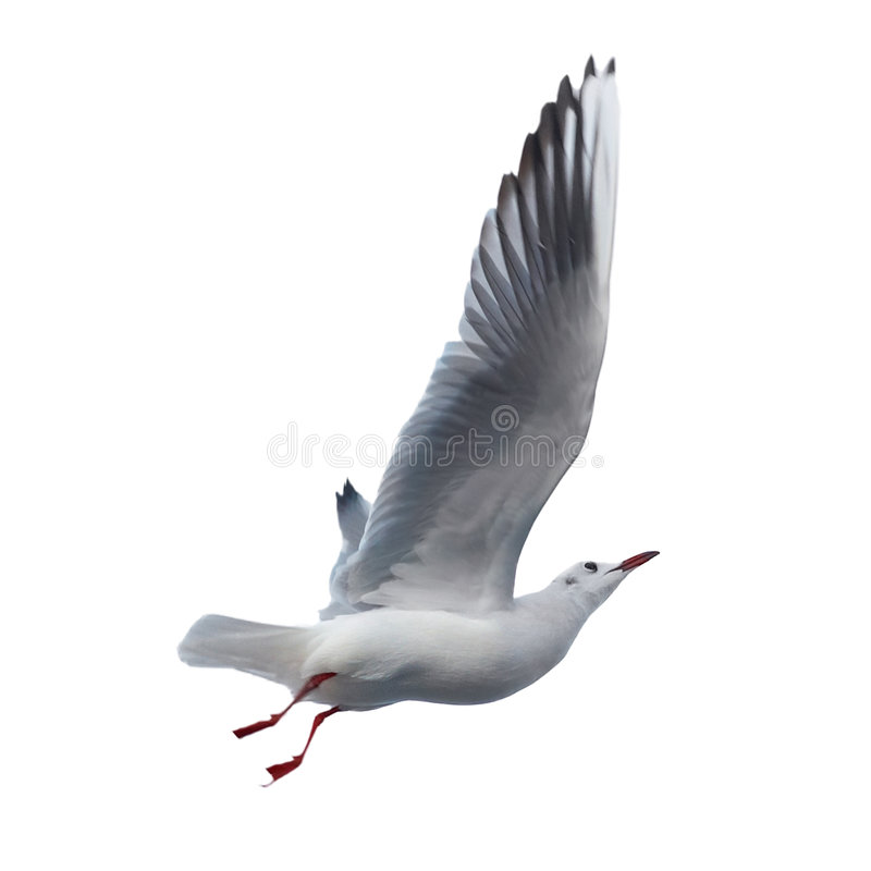 изолированная чайка стоковые фото