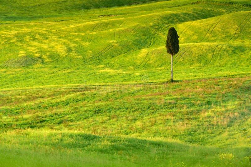 Изолированное дерево в поле времени Тосканы весной стоковое фото