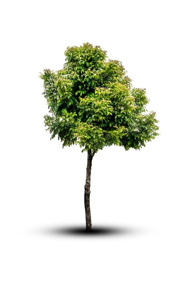 Изолированное дерево на белой предпосылке стоковые фотографии rf