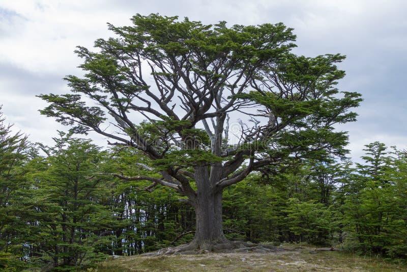 Изолированное дерево от национального парка Огненной Земли, Аргентины стоковые изображения