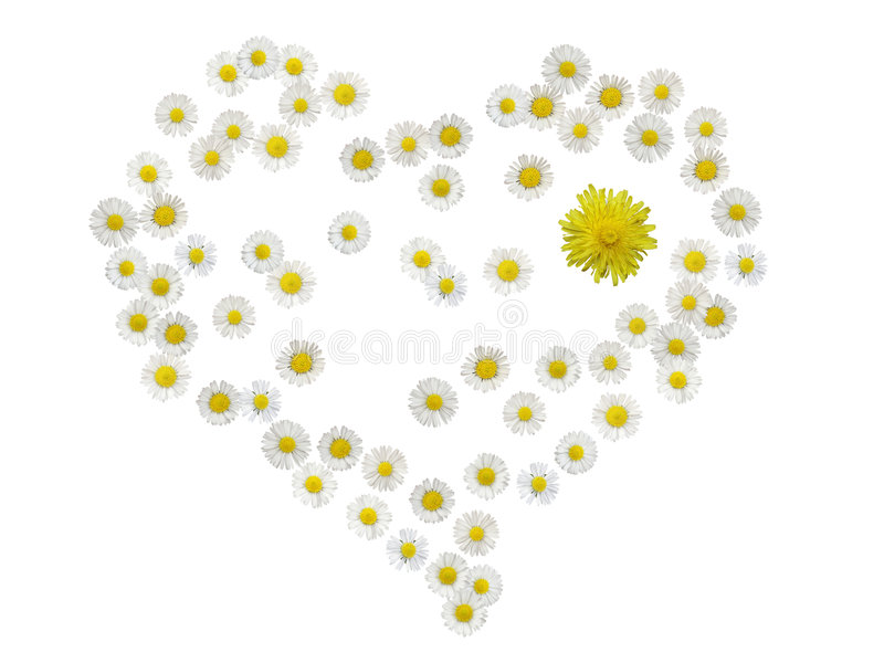 изолированное сердце одуванчика маргаритки стоковое изображение rf