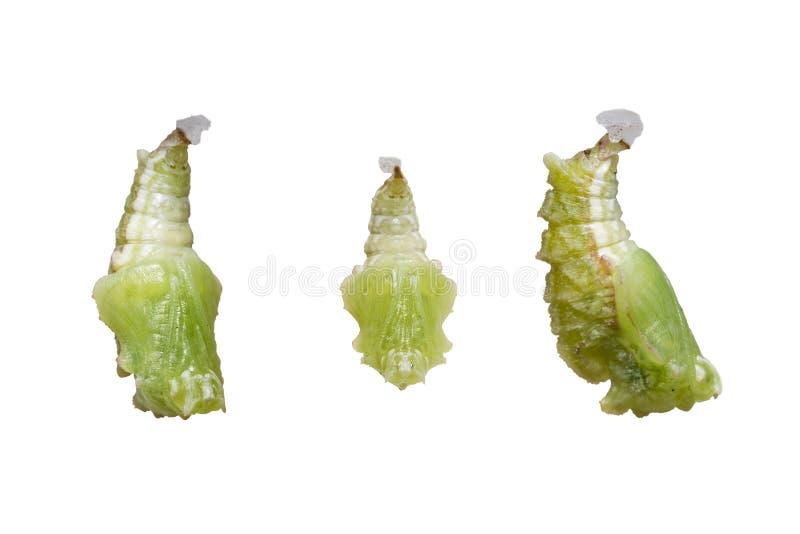 Изолированное pupation к chrysalis бабочки Pseudergolis Tabby стоковая фотография