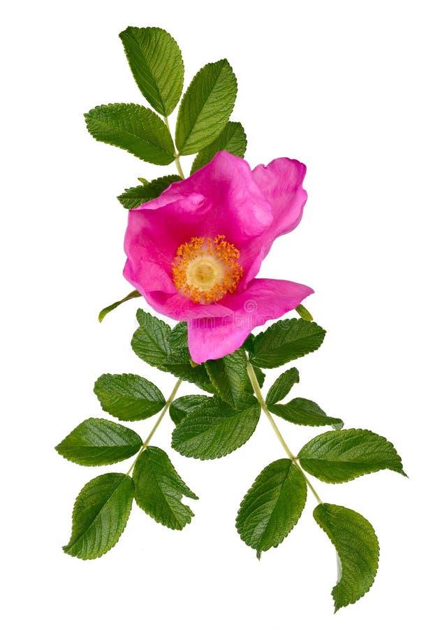 Изолированные бутоны blossoming rugosa Розы с листьями, стоковые фото