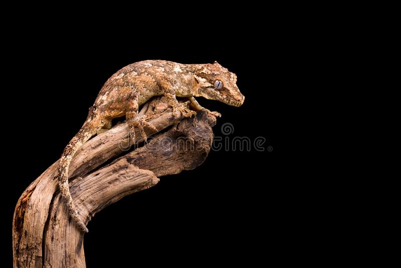 Изолированные гекконовые горгульи стоковые изображения rf