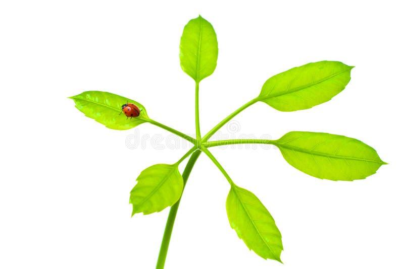 изолированные зеленым цветом листья ladybird стоковое фото