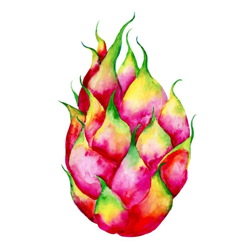 Изолированные иллюстрации акварели руки вычерченные pitaya плодов дракона Эскиз Pitahaya Иллюстрация еды лета стоковое изображение rf