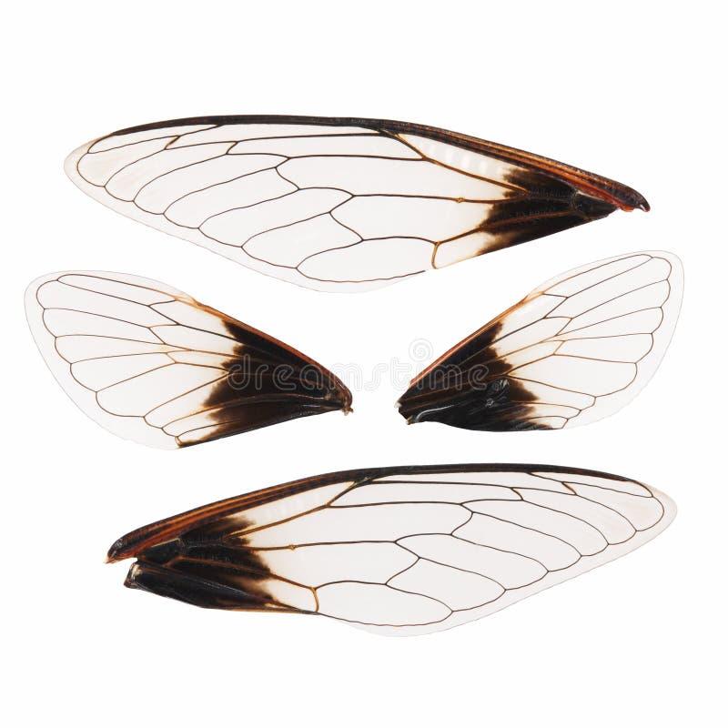 Изолированные крыла цикады стоковая фотография