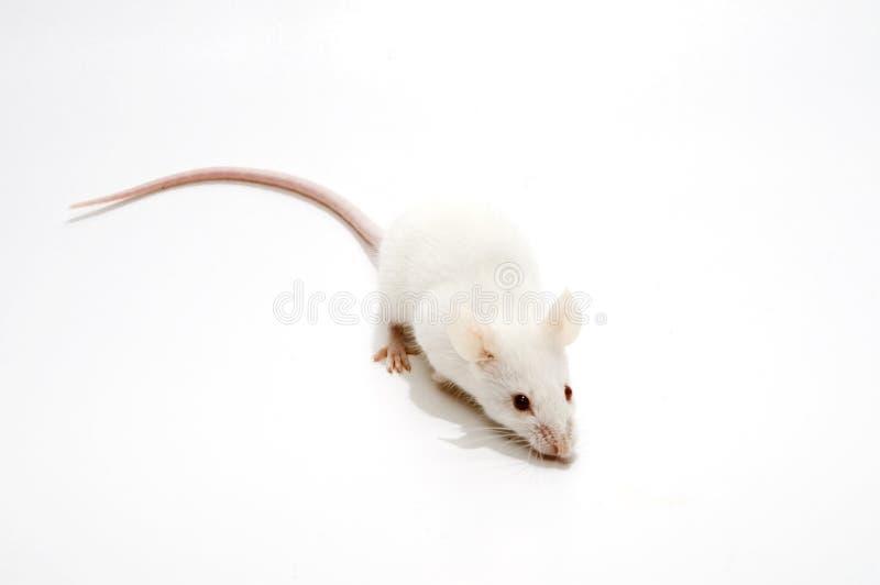 изолированные мыши белые стоковые изображения