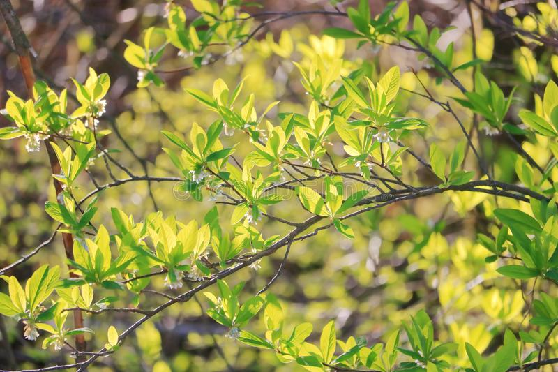 Изолированные свежие зеленые листья весны стоковые изображения rf