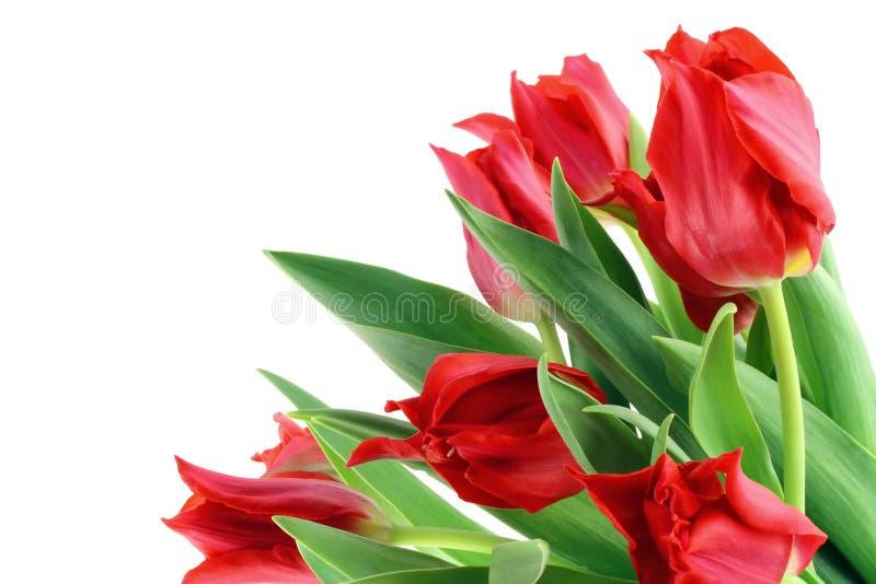 Изолированные тюльпаны весен красные стоковое фото rf