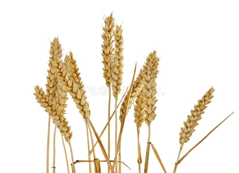Изолированные уши пшеницы стоковая фотография