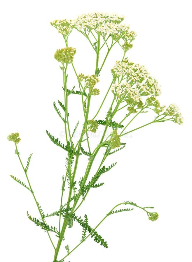 Изолированные цветки и лист тысячелистника обыкновенного стоковые фото
