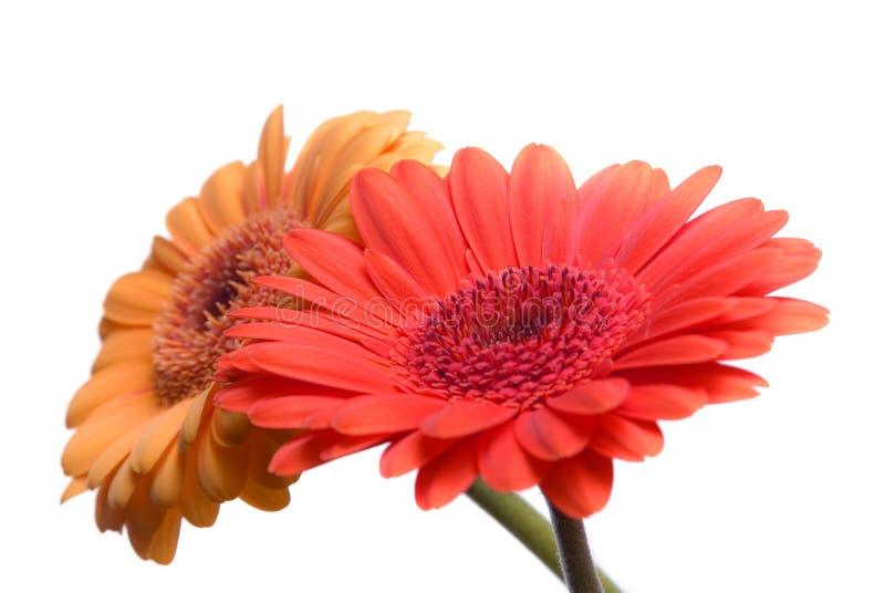 Изолированные цветки Бесплатное Стоковое Фото