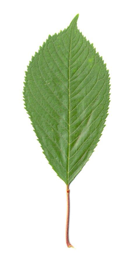 изолированный вишней вал листьев стоковые фото