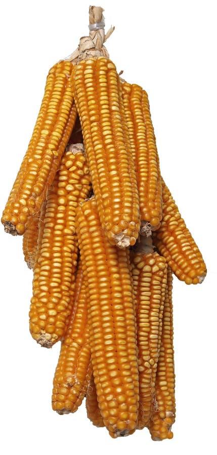 Изолированный высушенный стержень кукурузного початка стоковое фото