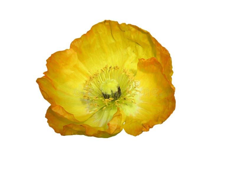 изолированный желтый цвет мака стоковое фото