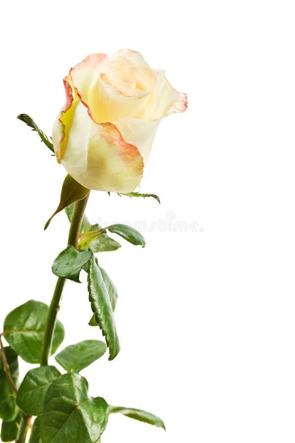 изолированный желтый цвет розы стоковые фото