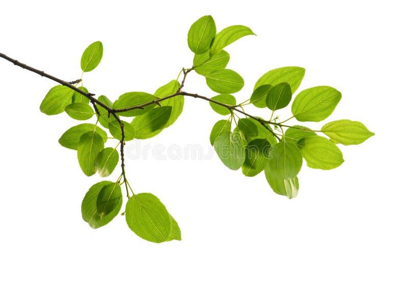 изолированный зеленый цвет ветви стоковое фото