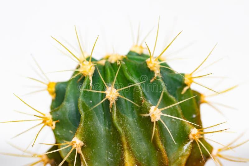изолированный кактус Конец-вверх детали кактуса с длинными и острыми терниями Макрос суккулентного на белой предпосылке стоковое изображение