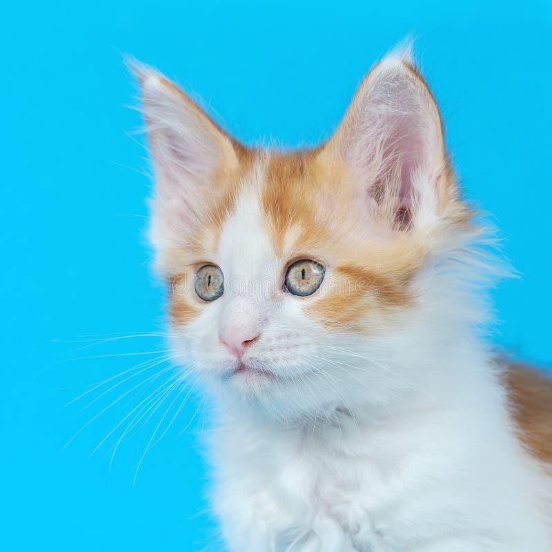 Изолированный котенок енота Мейна в студии стоковые изображения