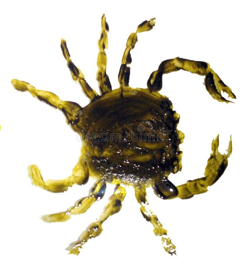 Изолированный краб крася морское животное стоковое изображение rf