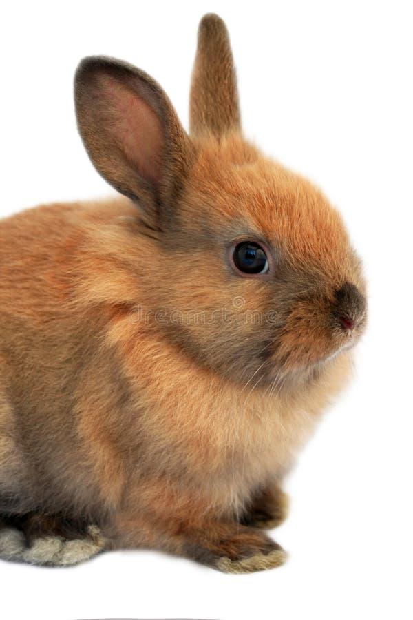 Изолированный кролик пасхи стоковые фотографии rf