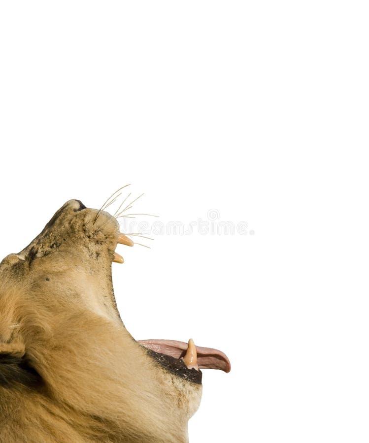 изолированный львев стоковое фото