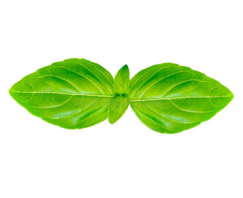 Изолированный макрос лист базилика Свежие зеленые листья базилика на белом bac стоковые фотографии rf