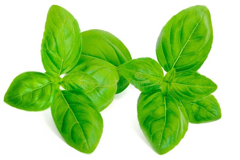 Изолированный макрос лист базилика Свежие зеленые листья базилика на белом bac стоковая фотография rf