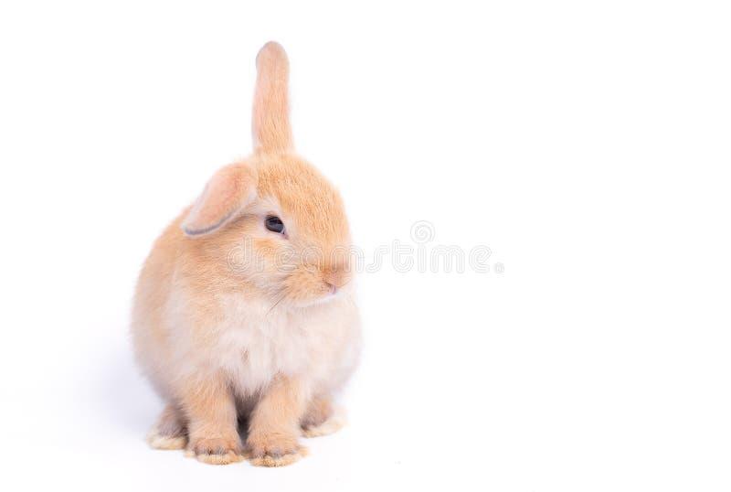 Изолированный маленький коричневый прелестный зайчик кролика на белой предпосылке с некоторыми действиями стоковые фотографии rf