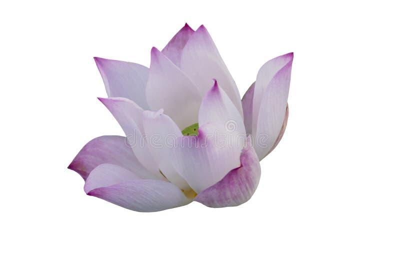 Изолированный пинк, пурпурный зацветать waterlily, зацветая лотос, зацветая лилия воды с клиппированием стоковые изображения rf