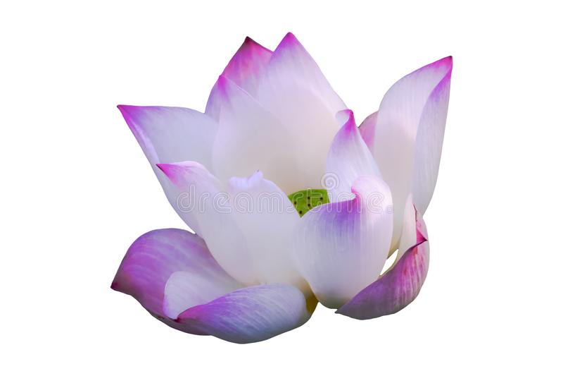 Изолированный пинк, пурпурный зацветать waterlily, зацветая лотос, зацветая лилия воды с клиппированием стоковое изображение