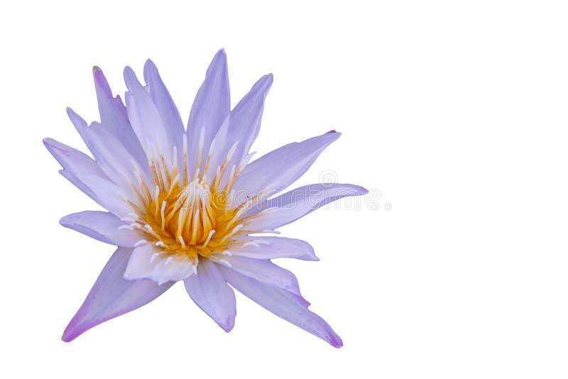 Изолированный пинк, пурпурный зацветать waterlily стоковые изображения rf