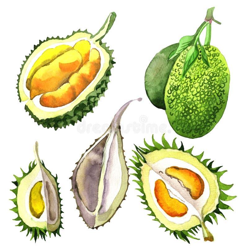 Изолированный плодоовощ экзотического дуриана одичалый в стиле акварели иллюстрация штока