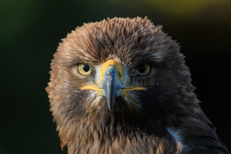 Изолированный портрет хищной птицы, стоковые изображения