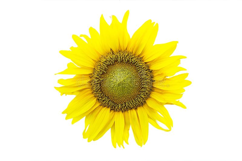 изолированный предпосылкой желтый цвет солнцецвета белый стоковое изображение