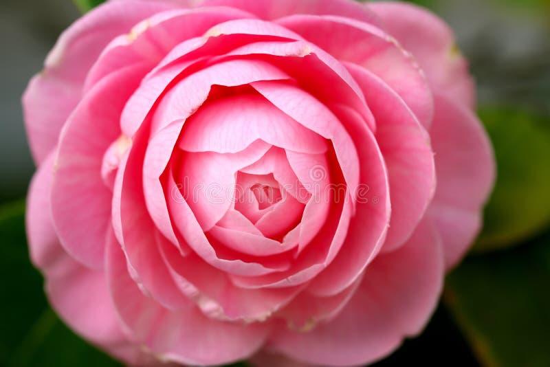 Изолированный розовый пион стоковая фотография rf