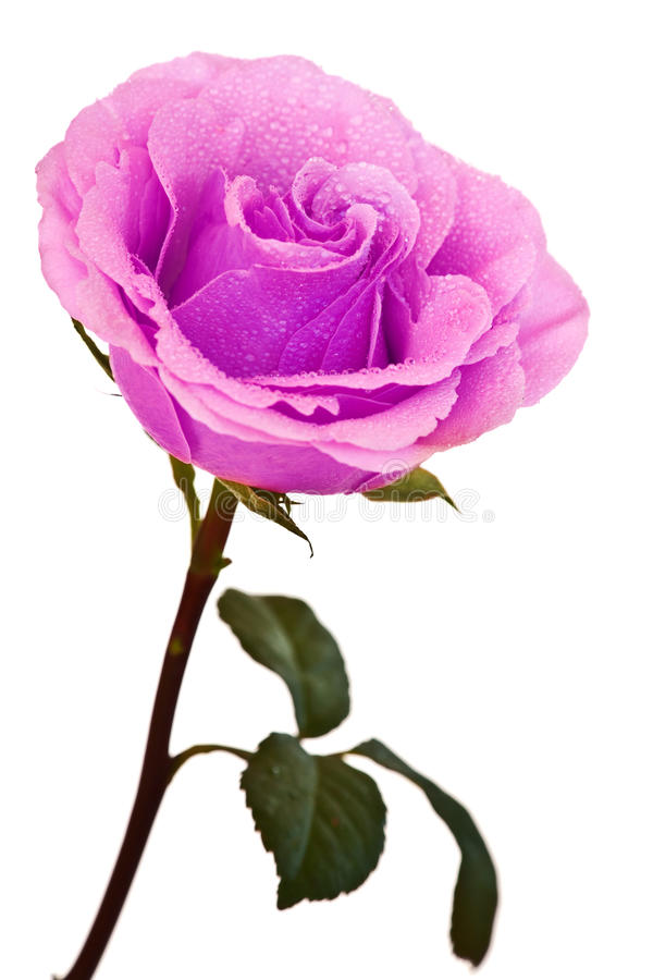 изолированный розовый пурпур поднял стоковое изображение