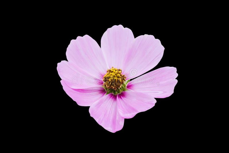 Изолированный розовый цветок космоса на черной предпосылке с путем клиппирования стоковое фото