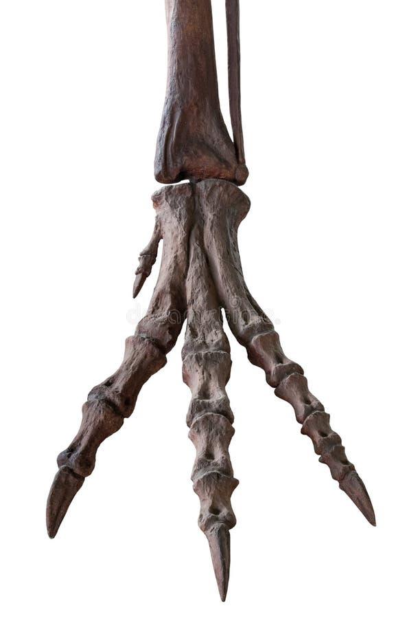 Изолированный скелет лапки tyrannosaur на белизне, стоковые фотографии rf