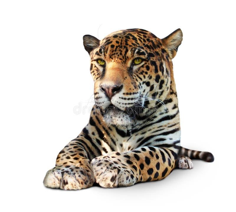изолированный фронтом взгляд ягуара стоковые фотографии rf