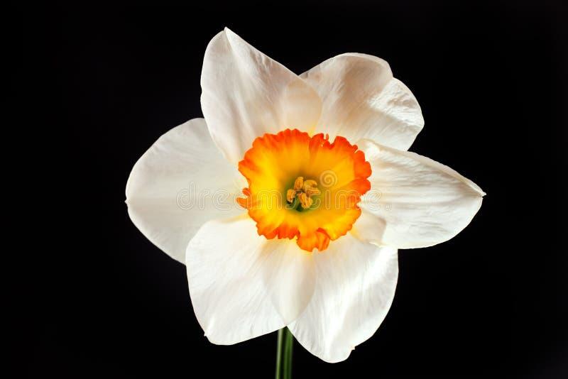изолированный цветком желтый цвет лепестков narcissus белый стоковые изображения