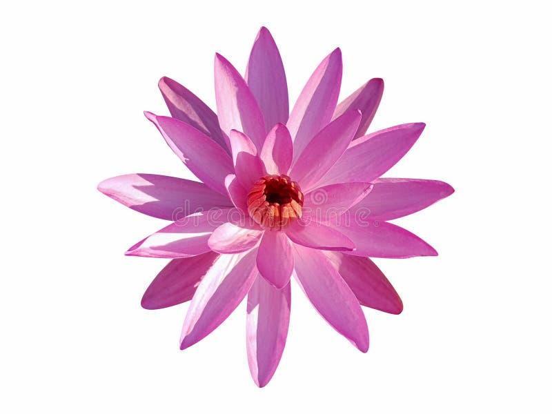 изолированный цветком пинк лотоса стоковое фото